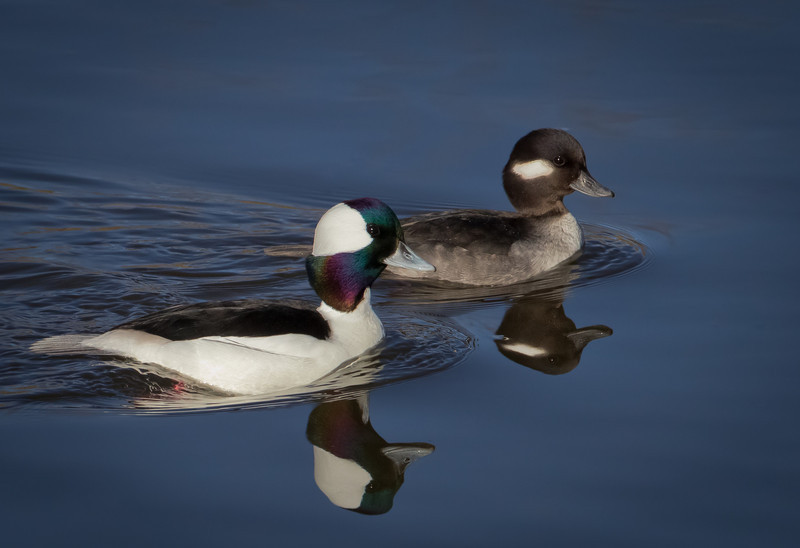Pair of Bufflehead Ducks