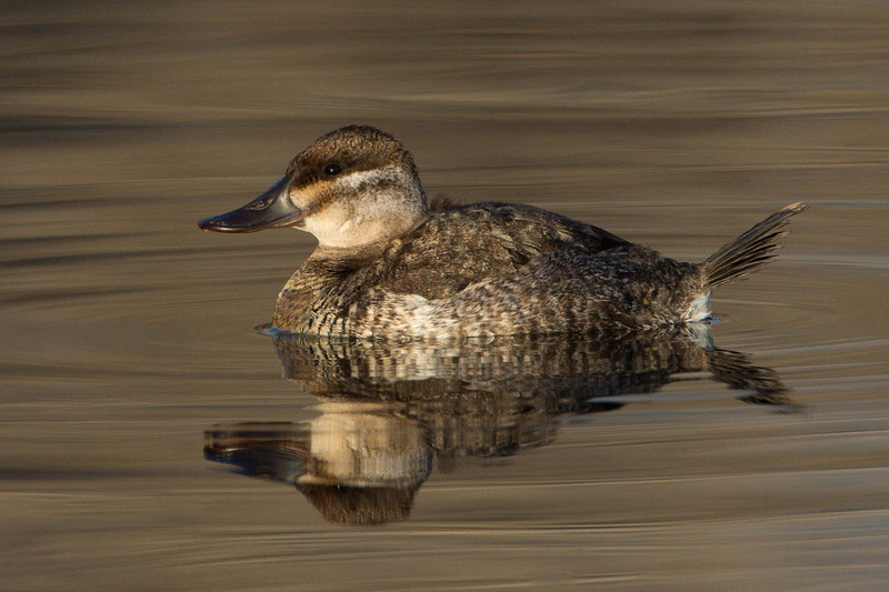 Ruddy Duck hen-winter plumage