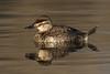 Ruddy Duck hen-winter plumage
