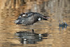 Bufflehead female on take off.