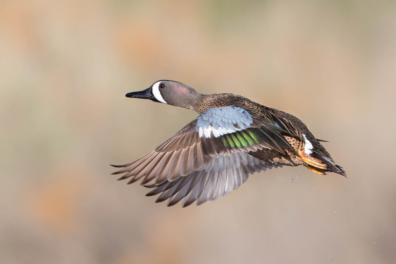 Blue-winged Teal drake.
