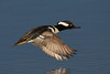 Hooded Merganser,drake in flight.