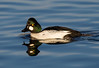 Common Goldeneye Drake.