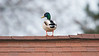 A duck was standing on the neighbor's roof.