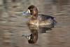 Lesser Scaup-Female Duck