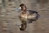 Lesser Scaup-Female Duck