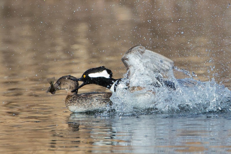 Hooded Merganser stealing fish from Pied-billed Grebe