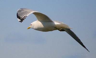 Seagull 8