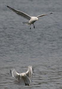 Seagull 22