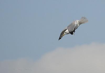 Seagull 20