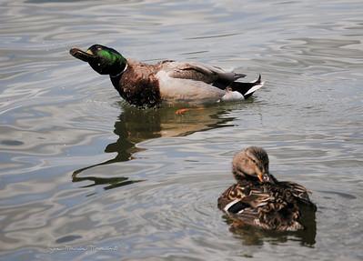 Duck 11