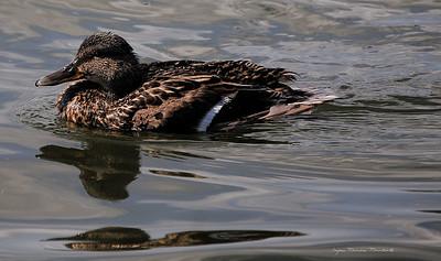 Duck 14