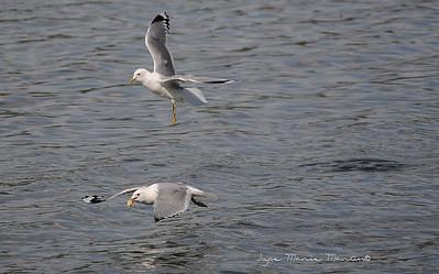 Seagull 19