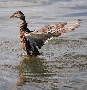 Duck 17