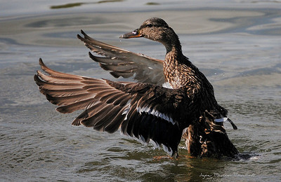 Duck 18
