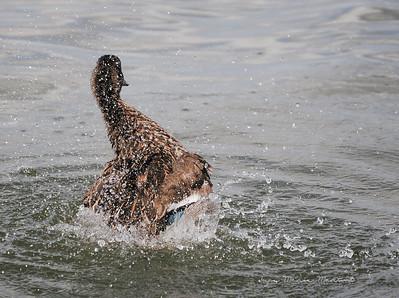 Duck 13
