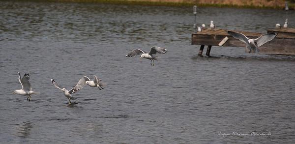 Seagull 23