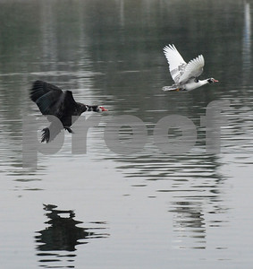 June 13, 2011  Lake Balboa, Encino, CA, USA.  Birds at dawn, and pre dawn  photo by  Scott Mitchell   copyright  2011   june 13   scottmitchellphotography.com