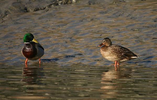 Eenden op de Schelde / Ducks on the river Schelde