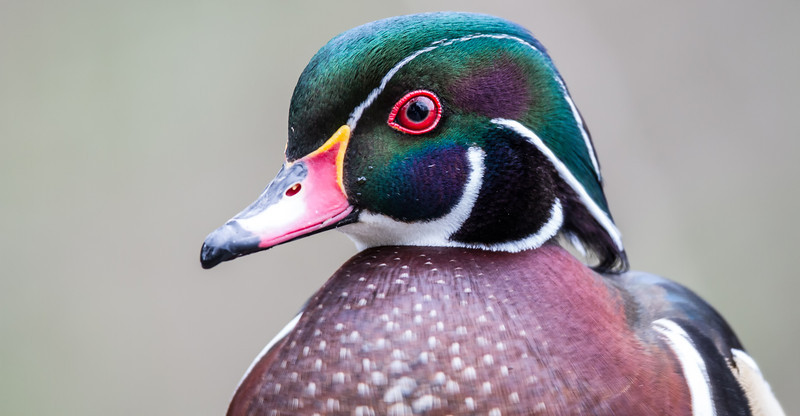 Wood Duck Cameo