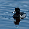 Ring-necked Duck (Aythya collaris) male adult in breeding colors. Image taken at Vera West in Central Florida.