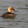 Hooded Merganser, female. (Lophodytes cucullatus)