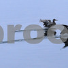 lake balboa  dawn  june 4, 2011   dukcs, birds<br /> <br /> photo by  Scott Mitchell  copyright  2011  june 4   scottmitchellphotography.com