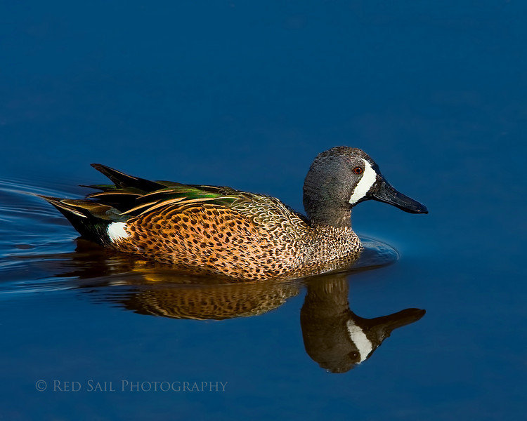 Blue-winged Teal (Anas discors) male.