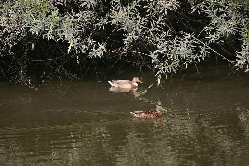 Eenden / Ducks
