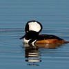 Hooded Merganser (Lophodytes cucullatus) male.