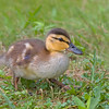 Mallard Duck (Anas platyrhynchos). This is one of six little chicks visiting my yard in search of seeds from my bird feeders..