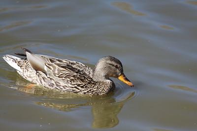 DucksMarch2011