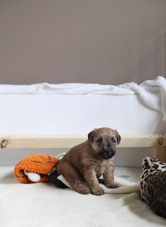 Dykstra puppies2
