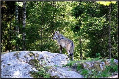 Wolf, Nordens Ark