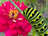 Eastern Black Swallowtail Caterpillars : Caterpillars seen on my fennel plants in September, Eastern PA (all mobile shots)