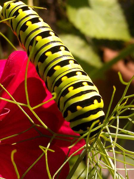 Eastern black swallowtail caterpillar on fennel with zinnia