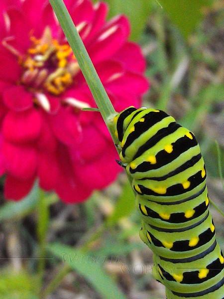 Eastern black swallowtail caterpillar on fennel with zinnia  - 9/12/2012