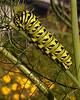 Eastern black swallowtail caterpillar on fennel