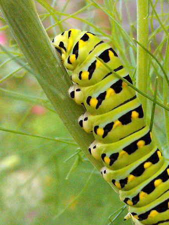 Eastern black swallowtail caterpillar on fennel