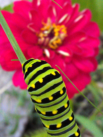 Eastern black swallowtail caterpillar on fennel with zinnia