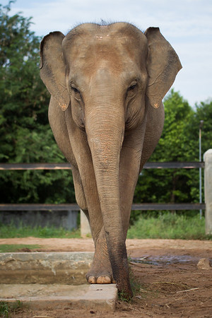 "For reasons only known to herself, Seila loves to tightrope walk along any of the straight lines in the large habitat built for her by EARS. <br /> <br /> She will mount the walls of her sandpit, walk along the edge of her pool, and trot along the occasional brick path that marks the edge of her old, smaller enclosure. Silly Seila! - Nov 2013<br /> <br /> All print proceeds go to EARS to directly help Kiri, Seila and all the elephants around Asia.<br /> <a href=""http://www.earsasia.org"">http://www.earsasia.org</a>"