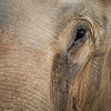"Kiri is a handsome elephant, and has problems with his left eye. It looks striking, and means he may well be partially blind. Despite this he is keenly aware of everything around him; lo and behold anyone try to sneak food to Seila behind Kiri's back, you can't hide anything from him!  - Nov 2013<br /> <br /> All print proceeds go to EARS to directly help Kiri, Seila and all the elephants around Asia.<br /> <a href=""http://www.earsasia.org"">http://www.earsasia.org</a>"