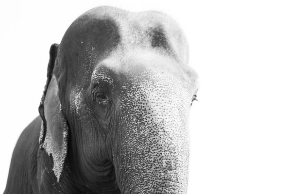 "A portrait of beautiful Sombo, a true gentle giant, peaceful and forgiving - Nov 2013<br /> <br /> All print proceeds go to EARS to directly help Sombo and her elephant friends around Asia.<br /> <a href=""http://www.earsasia.org"">http://www.earsasia.org</a>"