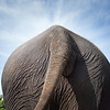 "Sombo submits a late entry for the ""Rear of the Year"" award  - Nov 2013<br /> <br /> All print proceeds go to EARS to directly help Sombo and her elephant friends around Asia.<br /> <a href=""http://www.earsasia.org"">http://www.earsasia.org</a>"