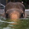 """Sombo does her best """"Jaws"""" impression, but still fails to scare anyone. She's too lovely to be scared of! - Nov 2013<br /> <br /> All print proceeds go to EARS to directly help Sombo and her elephant friends around Asia.<br /> <a href=""""http://www.earsasia.org"""">http://www.earsasia.org</a>"""