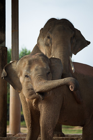 "Kiri and Seila are cared for by EARS, in the South of Cambodia. They are still relatively young, and the best of friends - Nov 2013<br /> <br /> All print proceeds go to EARS to directly help Kiri, Seila and all the elephants around Asia.<br /> <a href=""http://www.earsasia.org"">http://www.earsasia.org</a>"