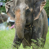 "Sombo flaps her ears to cool herself down in the afternoon sun as she plods through her paddock -  July 2012<br /> <br /> All print proceeds go to EARS to directly help Sombo and her elephant friends around Asia.<br />  <a href=""http://www.earsasia.org"">http://www.earsasia.org</a>"