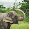 "Free from the toils of carrying tourists, Sombo is free to roam around her new homes spraying mud all over herself and others -  July 2012<br /> <br /> All print proceeds go to EARS to directly help Sombo and her elephant friends around Asia.<br />  <a href=""http://www.earsasia.org"">http://www.earsasia.org</a>"