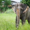"It would be impossible to release Sombo back to the wild after a lifetime of captivity, but EARS work to give her the best retirement an elephant can have -  July 2012<br /> <br /> All print proceeds go to EARS to directly help Sombo and her elephant friends around Asia.<br />  <a href=""http://www.earsasia.org"">http://www.earsasia.org</a>"