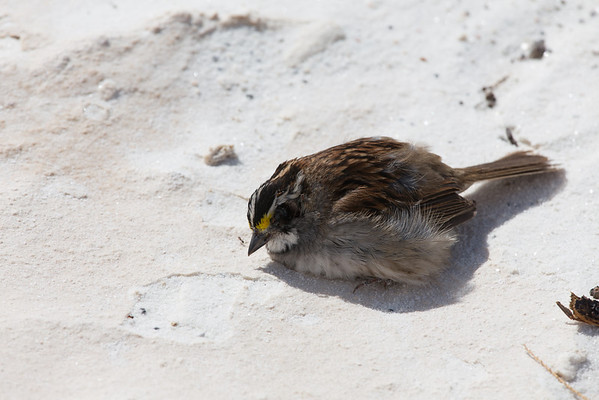 White-throated Sparrow (Zonotrichia albicollis)